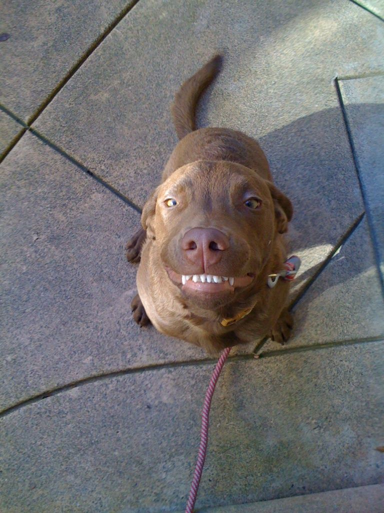 Chesapeake Bay Retriever Smile Chesapeake Bay Retriever Puppy