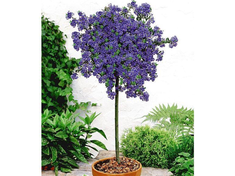 Immergrune Sackelblume Ceanothus Stammchen Blue Mound 1 Pflanze