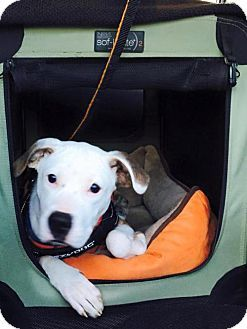 Boxer Mix Dog for adoption in New York, New York
