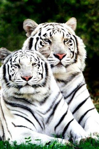 fond d'ecran anime tigre blanc