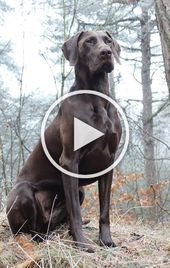 This is a perfect example of what is referred to as the GSPs noble gaze This handsome boy is the King of all he surveys This is a perfect example of what is referred to a...