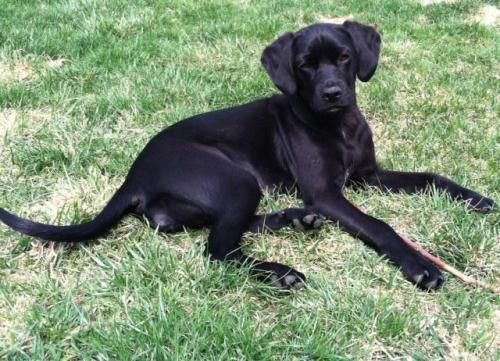 Adopt Mia On Labrador Retriever Black Labrador Retriever Cocker Spaniel Dog