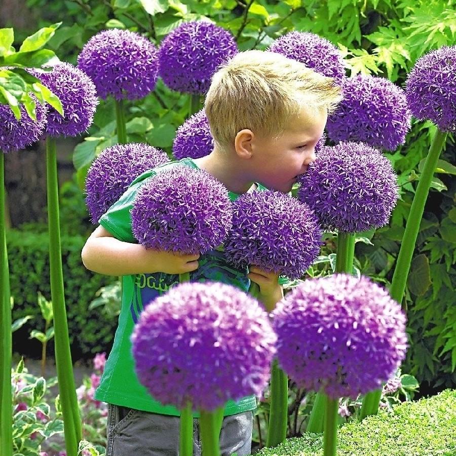 Giant Allium Gladiator Buy In Bulk At Edenbrothers Com Allium Flowers Bulb Flowers Plant Flower Bulbs