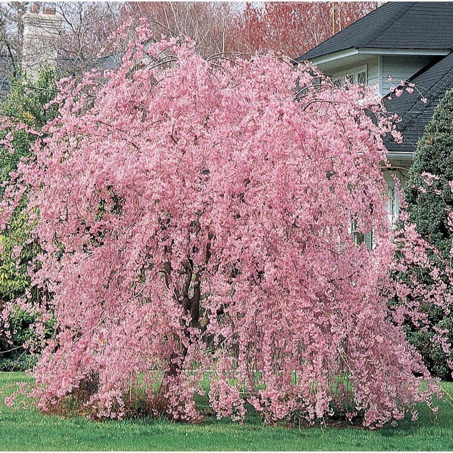 Pink Weeping Cherry Prunus Subhirtella Var Pendula The Tree Center Weeping Cherry Tree Flowering Cherry Tree Crape Myrtle