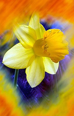 .Daffodil