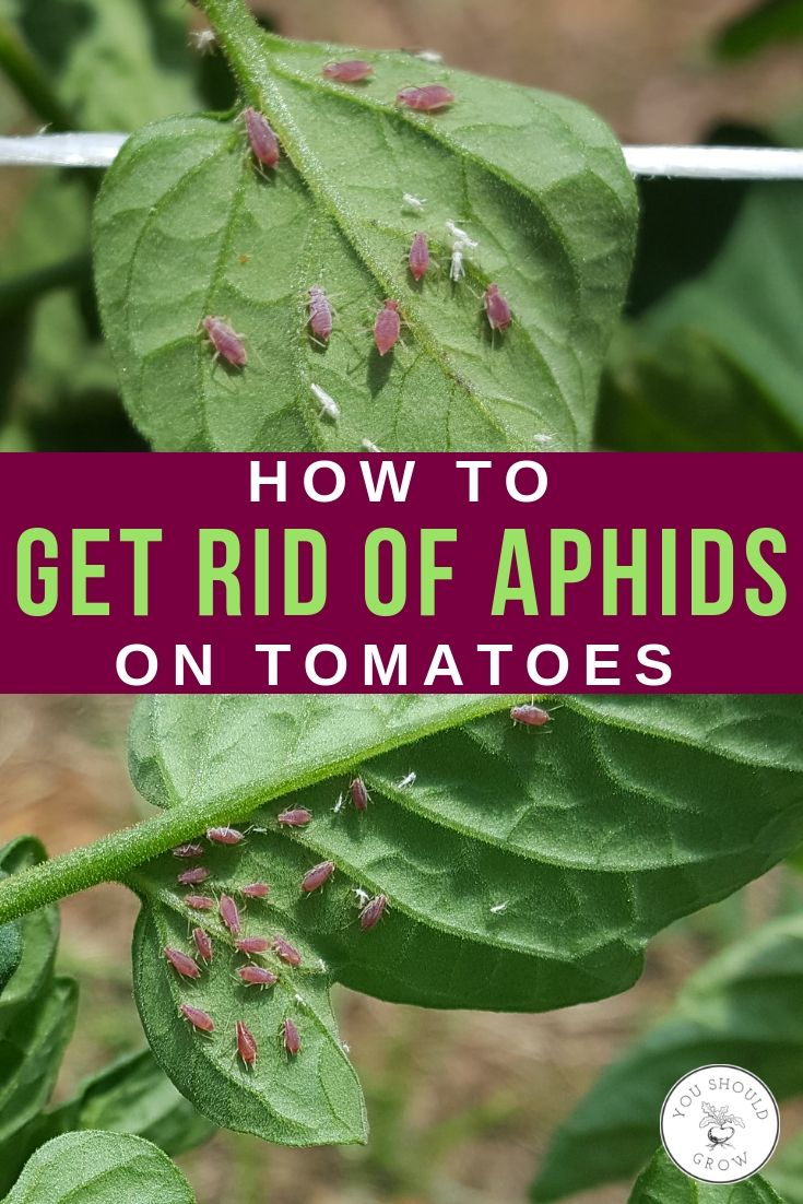 How To Get Rid Of Lice On Tomato Plants