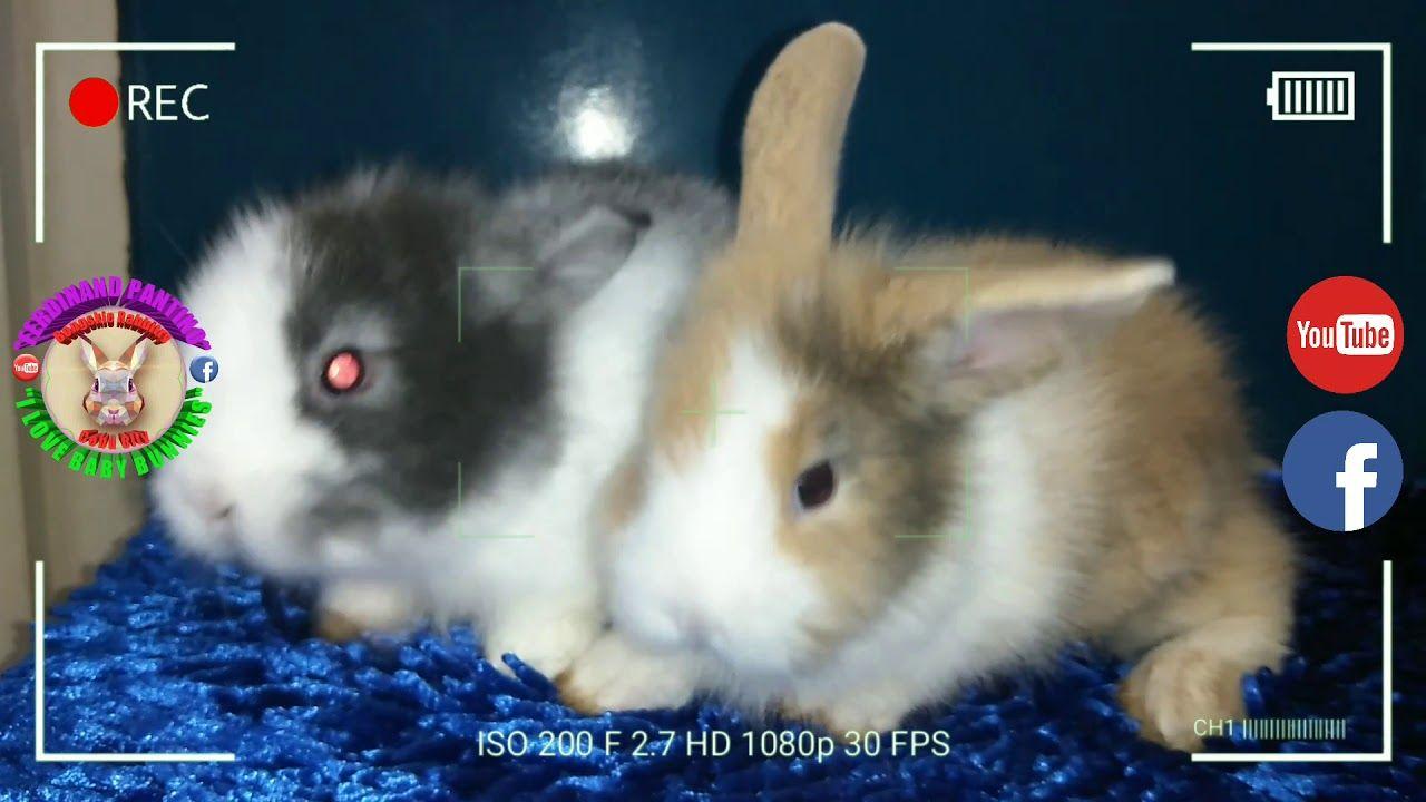 Pin By Rabbitvideos On Bunny Rabbit In 2020 Cute Baby Bunnies Baby Bunnies Pet Rabbit