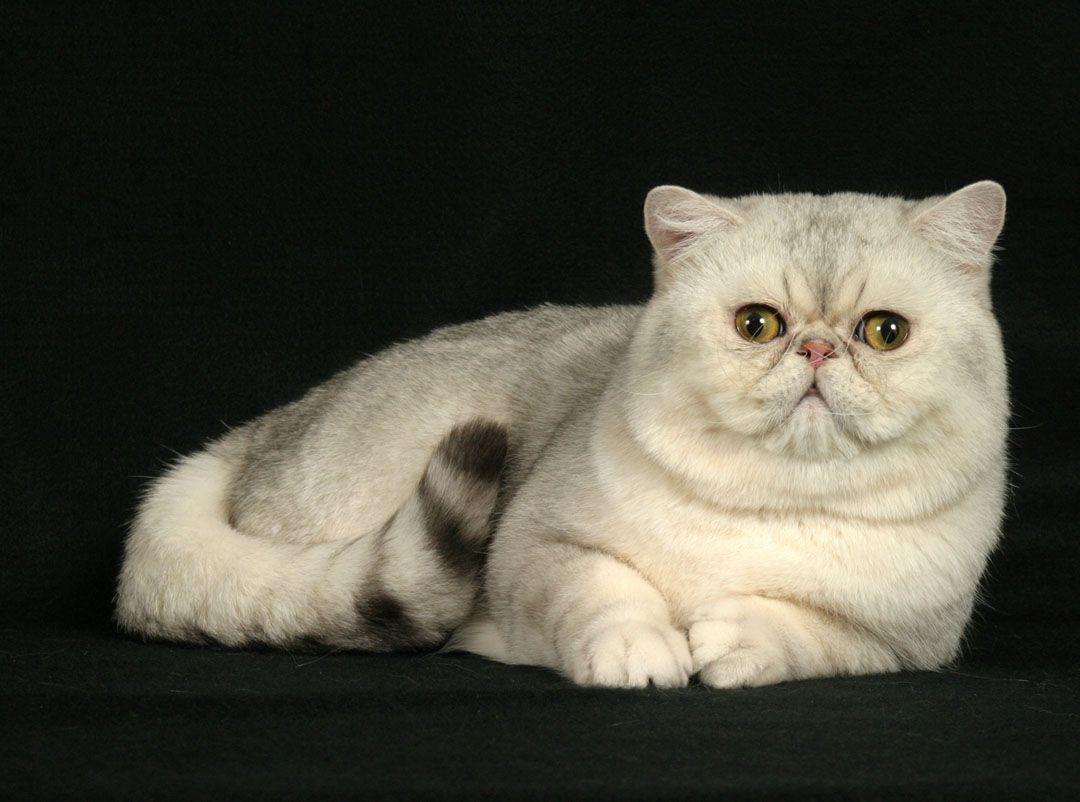 10 Most Popular Flat Faced Cat Breeds In The World Samoreals