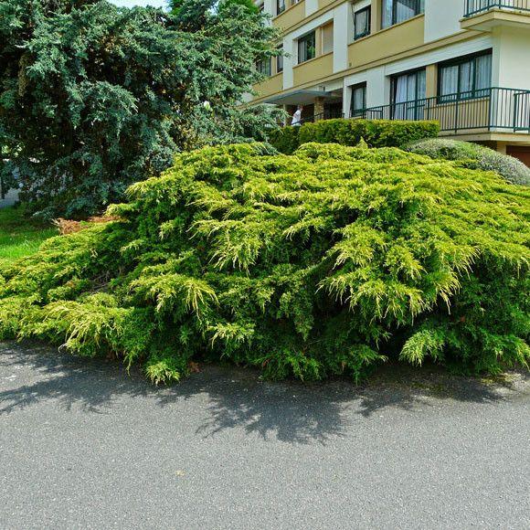 Juniper Old Gold Plants Shade Garden Fast Growing Trees