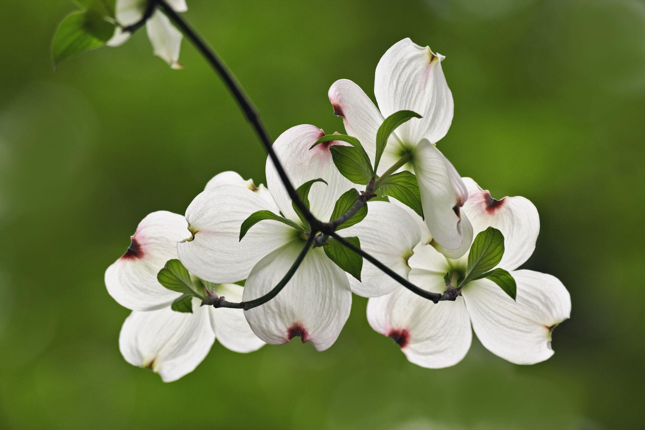 6 Best Dogwood Varieties For Your Landscape Dogwood Flowers