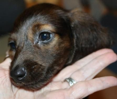 Beautiful Red Brindle Standard size Longhair Dachshund Puppy