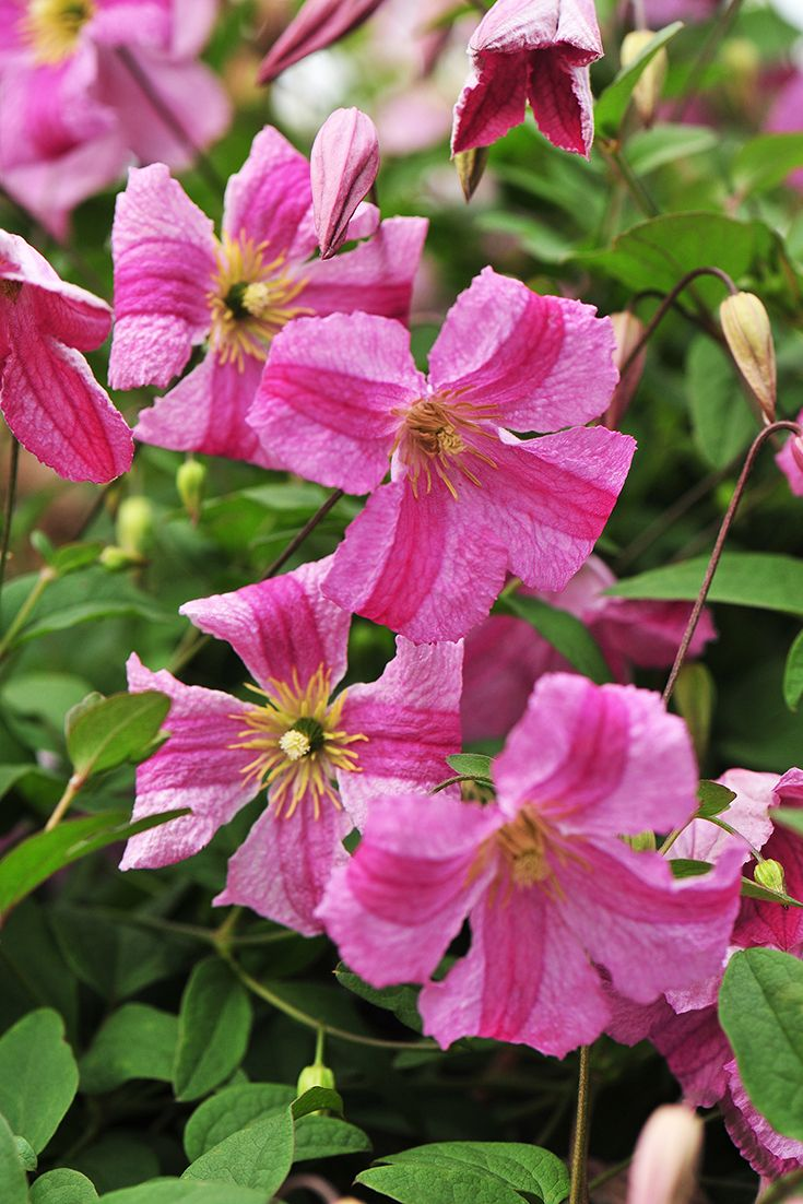 Pink Mink Clematis X Clematis Mink And Flower