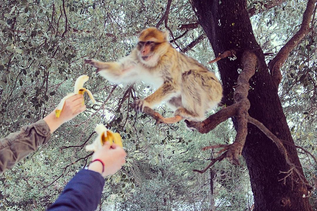 Day 68: Found this guy in a tree. Along with snow in Africa  #morocco #wildlife #monkey #africa #nature #travel #studyabroad #erasmus #picoftheday by monica.m.moore