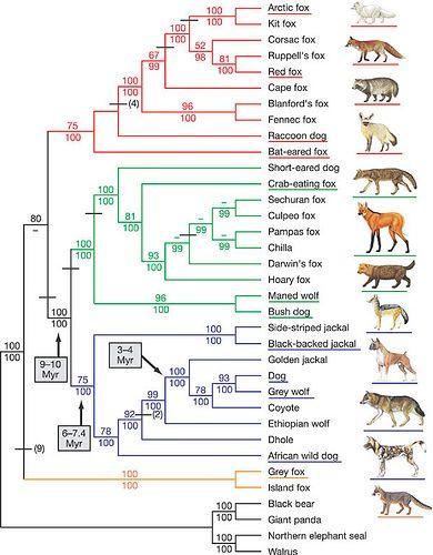 Canidae Family Tree African Wild Dog Wild Dogs Australian Shepherd