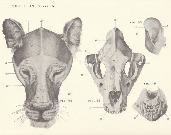 female lion skeleton - Google Search | Anatomía animal | Pinterest ...