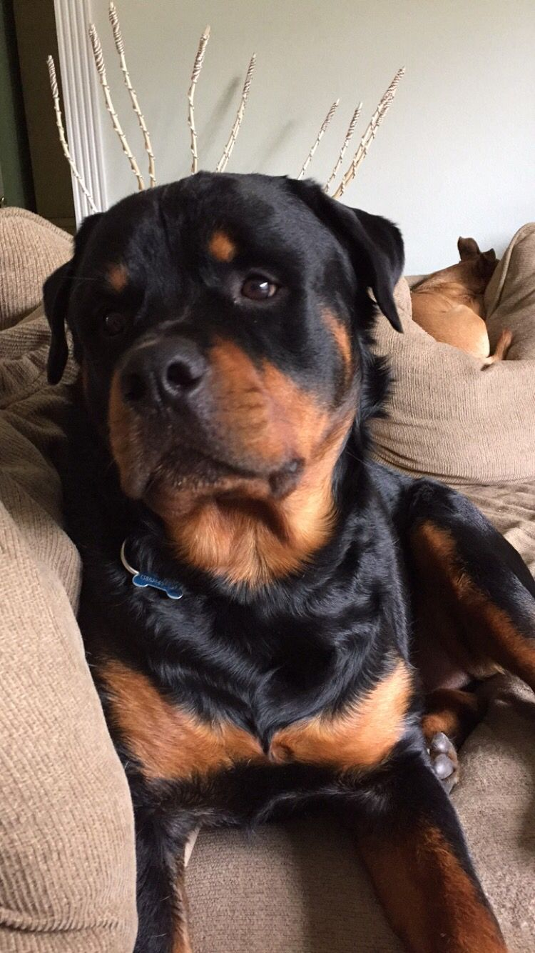 My Rottweiler Is The Cutest Rotty Rottweiler Puppy