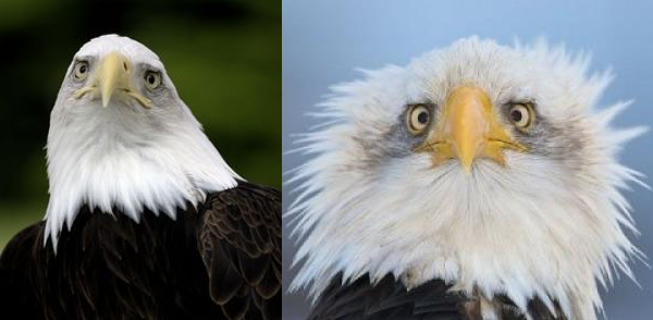 Alert Bald Eagle Could Be Replaced As National Symbol With Obamas