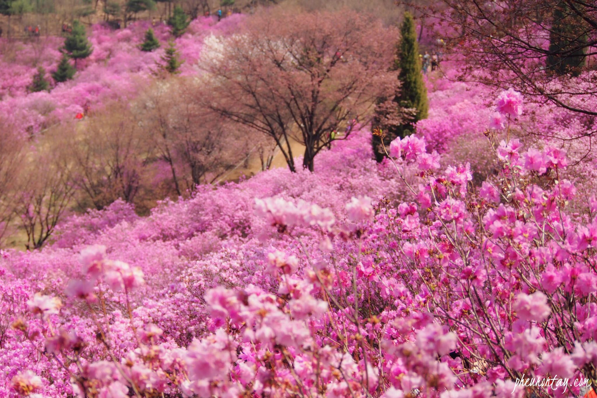 Its Spring And Flowers Are Blooming Everywhere In South Korea However It Has Been Raining Continuously Th Azalea Flower Azalea Festival Cherry Blossom Petals