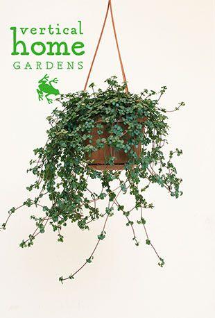 plante verte himalaya