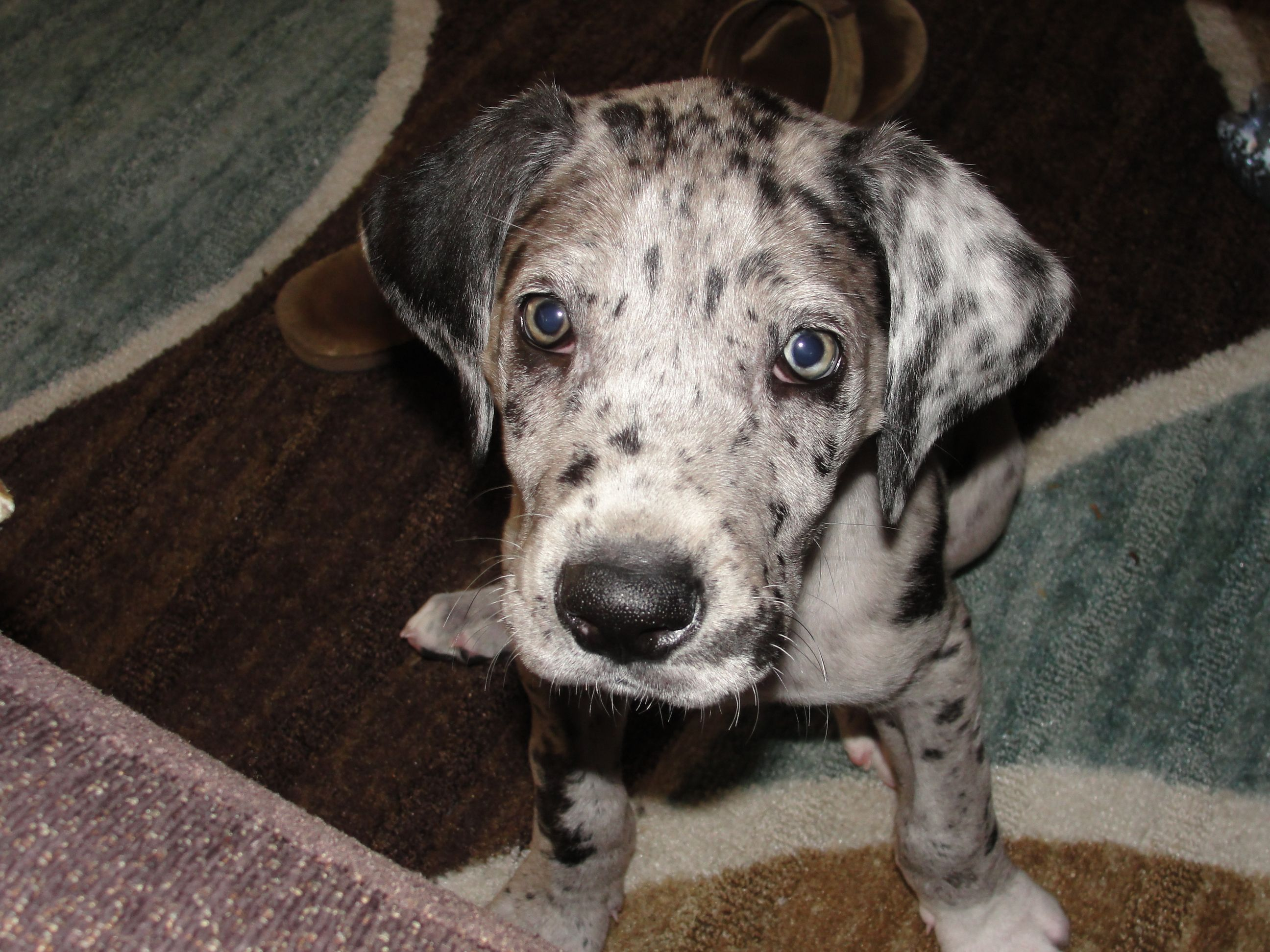 It's hard to believe that our baby girl ever use to be this small! She is still only 6months old and growing like a weed. I love our great dane puppy :)