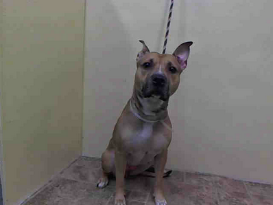 GONE --- URGENT - Manhattan Center    WINTER - A0991268    FEMALE, TAN / WHITE, PIT BULL MIX, 2 yrs  STRAY - STRAY WAIT, NO HOLD  Reason STRAY   Intake condition NONE Intake Date 02/07/2014, From NY 10010, DueOut Date 02/10/2014 https://www.facebook.com/Urgentdeathrowdogs/photos_stream