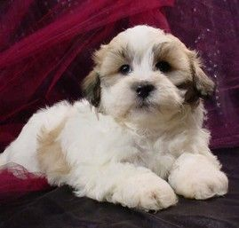 Shih Tzu Bichon Puppies Puppy For Sale Healthy Puppies Teddy Bear Puppies Teddy Bear Dog Shih Tzu