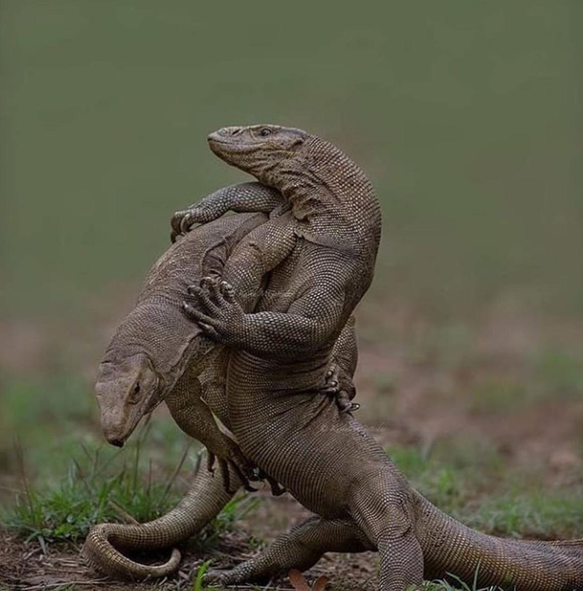Lizard vs Gecko fight comparison who will win? Monitor