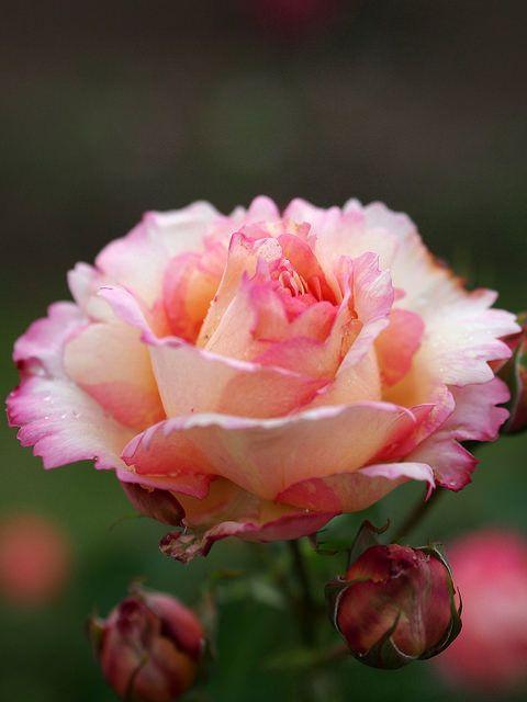 'Peche Bonbons'   Shrub rose, @ T. Kiya