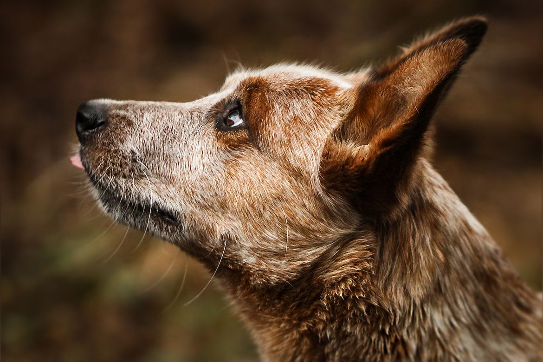 cattle dog by Mathias Ahrens / 500px Australian