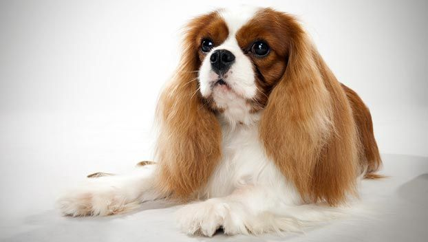Cavalier King Charles Spaniel (but with groomed ears :P)