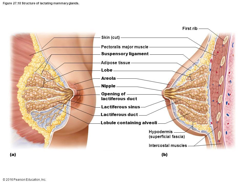 Mammary Gland Gross Anatomy Google Search Lactancia Superficial