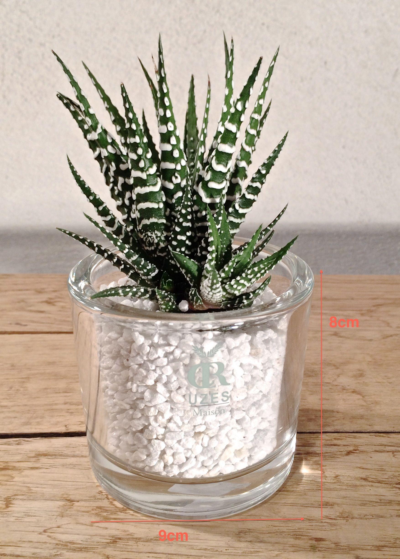 Haworthia Big Band S Cactus Et Plantes Succulentes Jardin