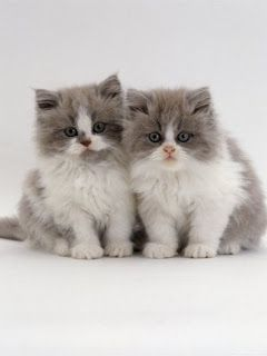 Most Famous Persian Cat Names Click The Picture To See Pretty Cats Kittens Cutest Persian Kittens