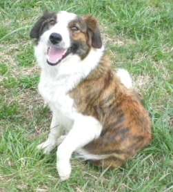 This is Rosie, the mom of my Border Collie Logan