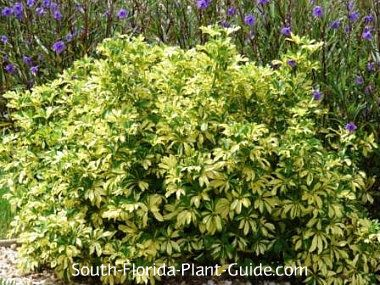Variegated arboricola schefflera arboricola trinette the for Common landscaping shrubs
