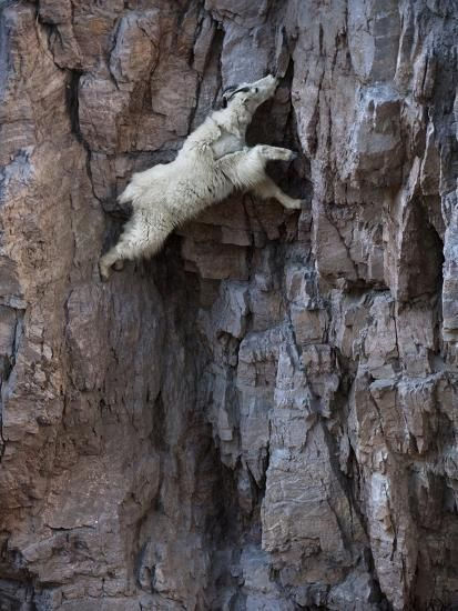A mountain goat descends a sheer rock wall to lick exposed salt. Photographic Print by Joel Sartore at AllPosters.com
