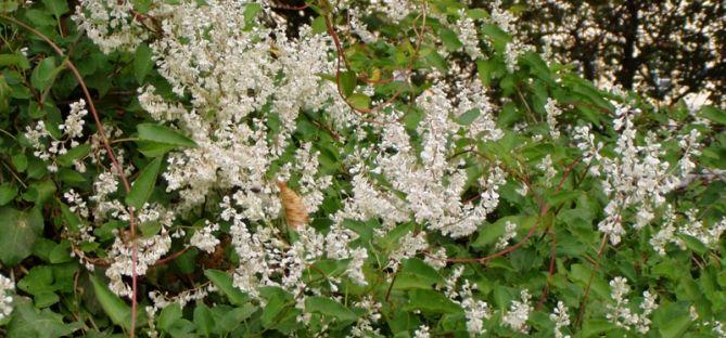 Pin von khb auf permaculture pinterest kn terich pflanzen und rankgitter - Einheimische pflanzen im garten ...