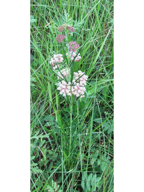Asclepias verticillata (Whorled milkweed): Whorled milkweed is a ...
