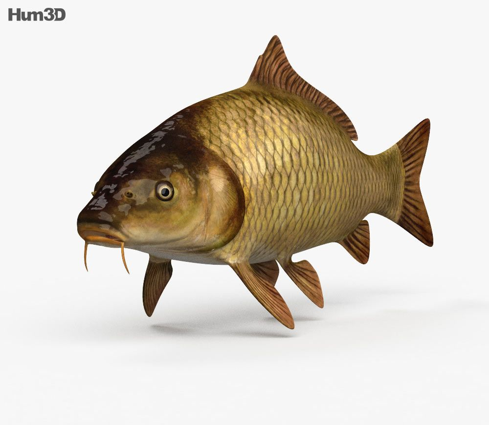3d Model Of Carp Hd Carp Fish Sketch Fish Drawings