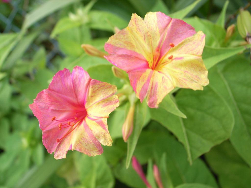 Tips And Information About Growing Four Oclock Plants Flowers