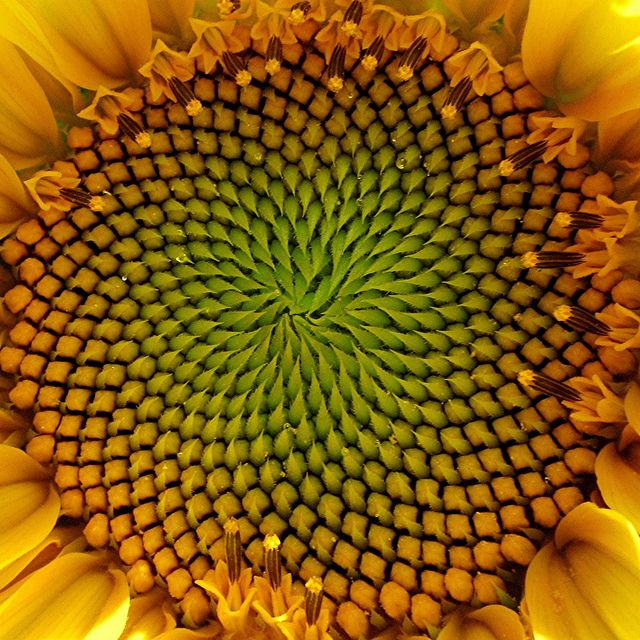 Squared Sunflower Spirals In Nature Fibonacci In Nature