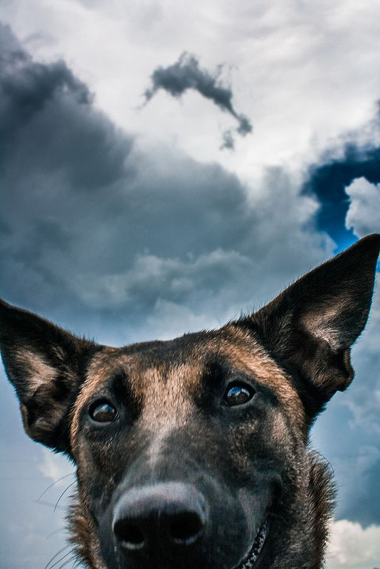 Various Dog Breeds From Around The World Malinois Dogs Dog Life