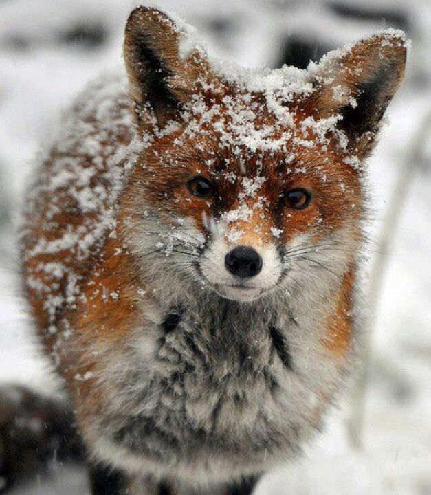 red fox in snow - photo #24