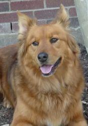 Adopt Honey On Dogs Golden Retriever Dog Crossbreeds Dogs