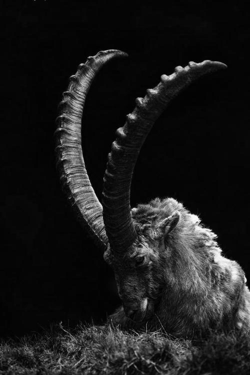 INFINIT Goat horns, Black phillip, Dark art