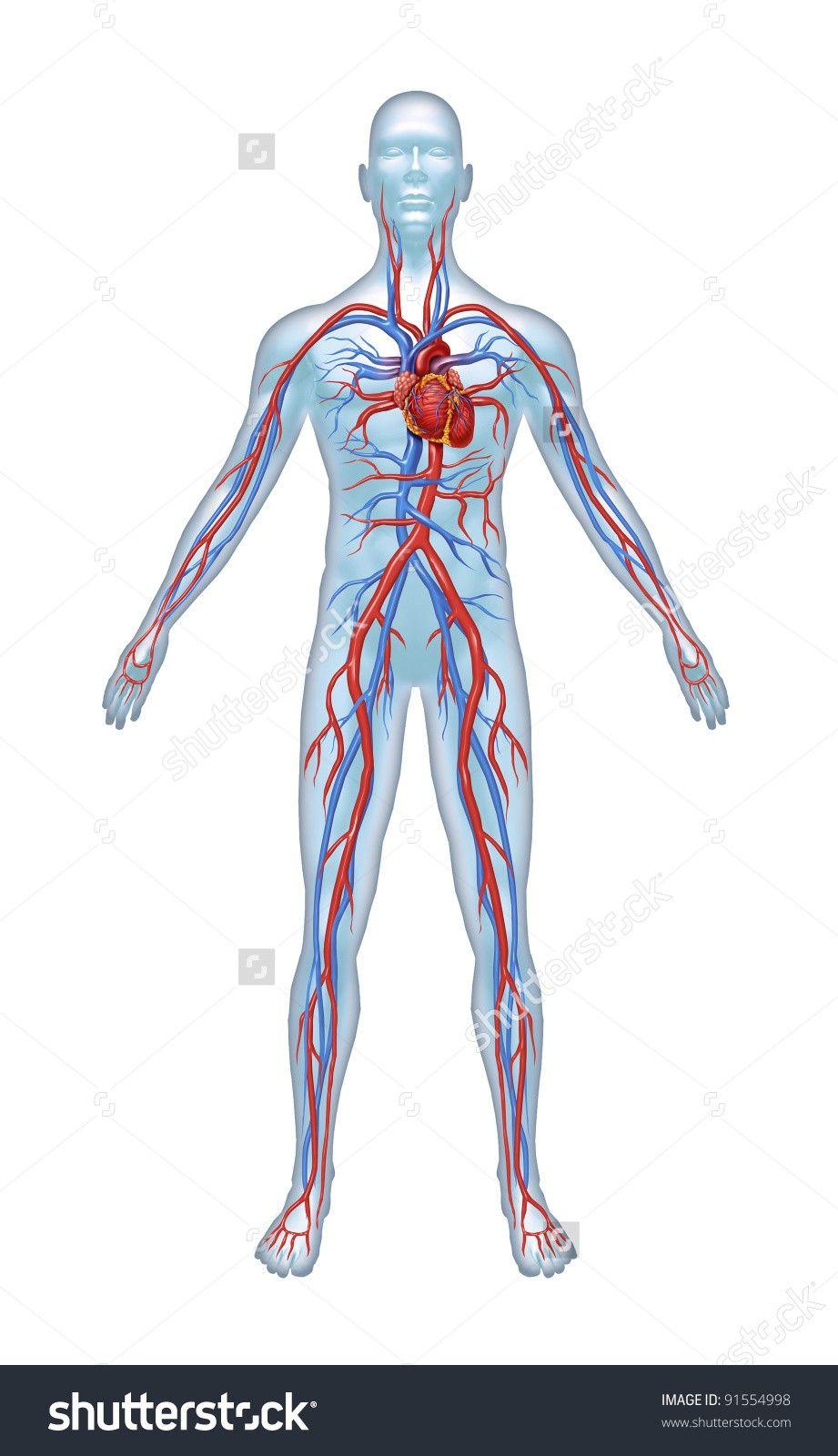 Human Body Unlabeled Diagram - Human AnatomyHuman Anatomy
