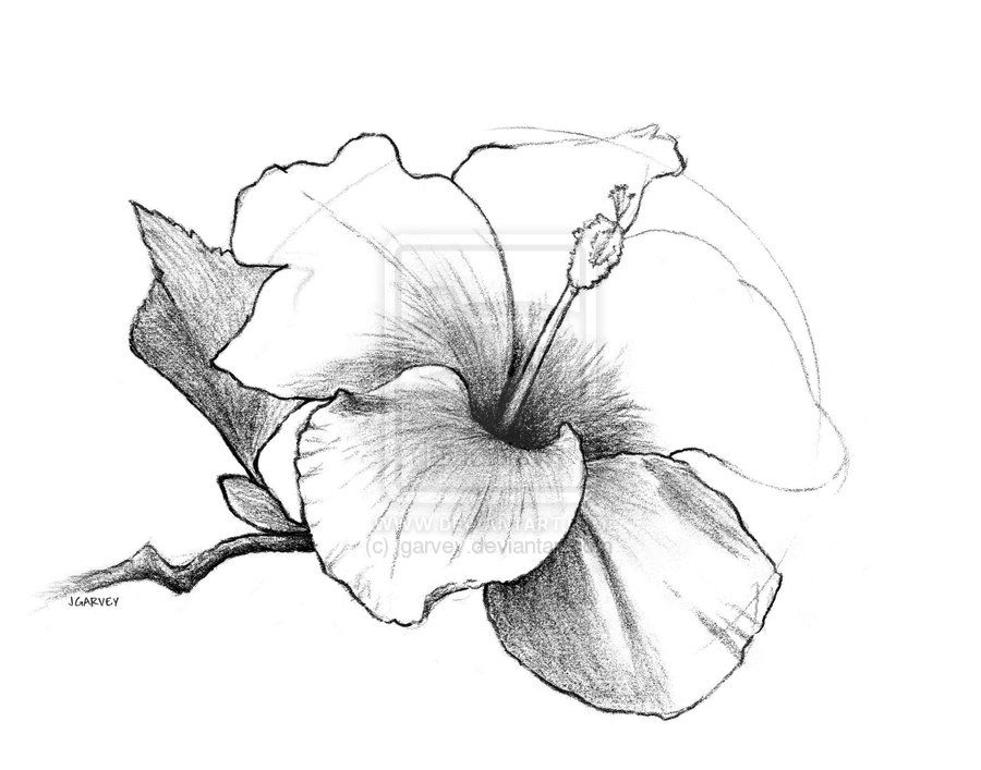 Draw Flowers Drawing Hibiscus Flower By Jgarvey On Deviantart