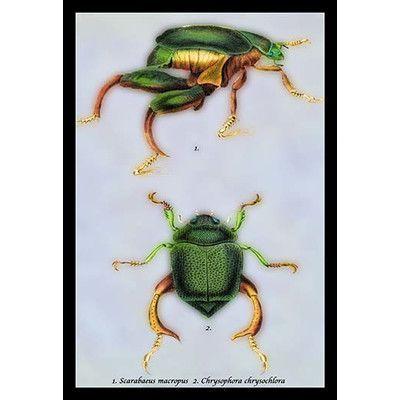 Buyenlarge 'Beetles: Scarabaeus Macropus and Chrysophora Chrysochlora #1' by Sir William Jardine Graphic Art