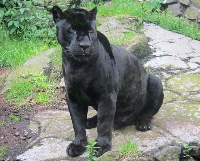 What Does It Mean To Dream Of A Black Panther Dream Analysts