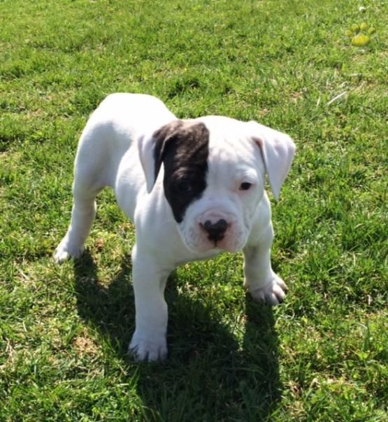 Patch American Bulldog Puppy For Sale In Lititz Pa American